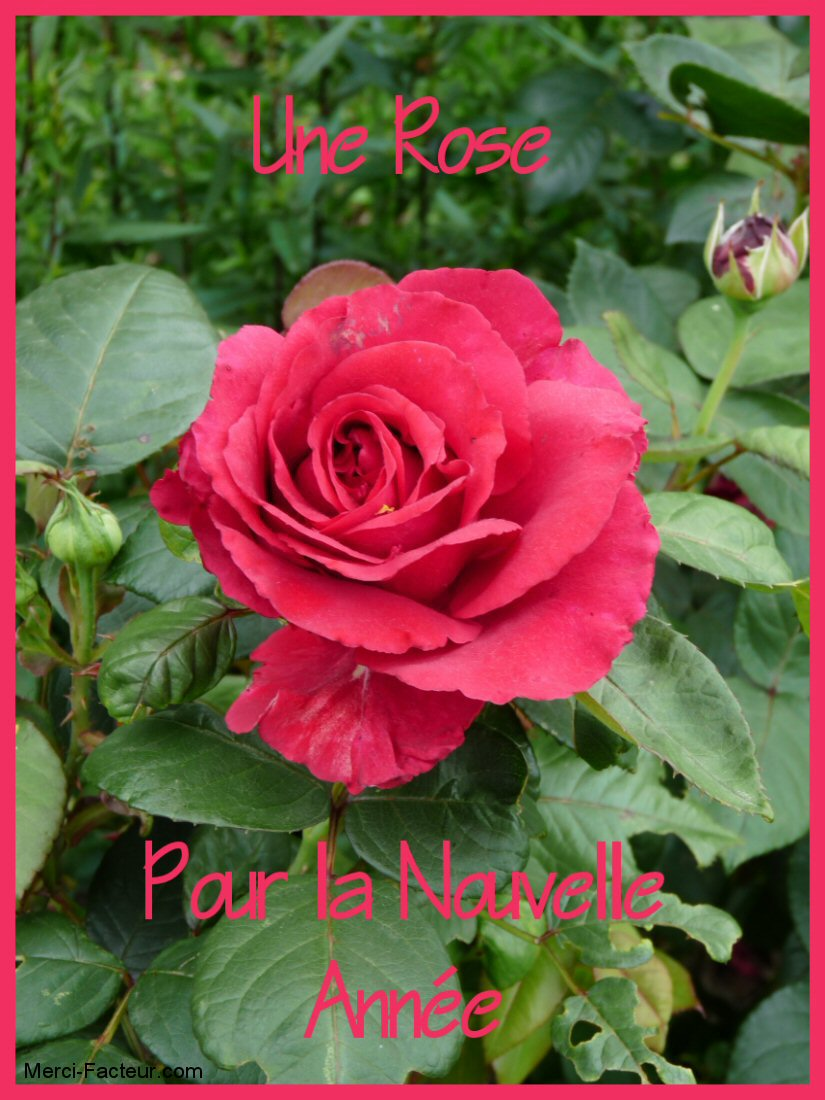 carte de voeux gratuite avec une belle rose