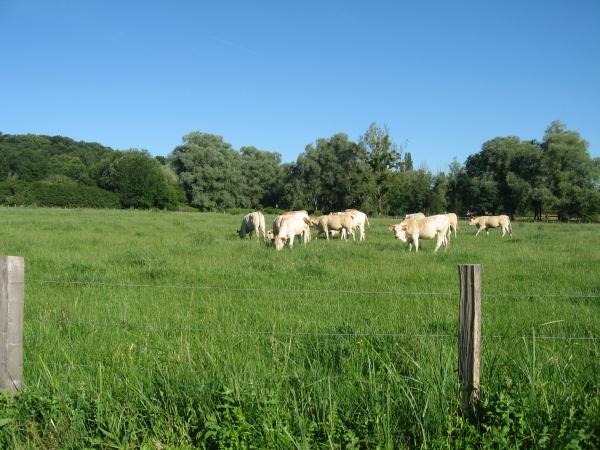 Vaches dans un pré à coté de Chevreuse