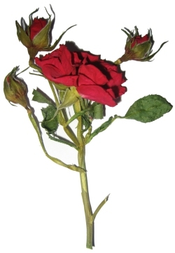 rose séchée pour carte de fête des mères