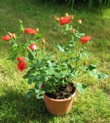 Petit rosier buisson en pot pour la fete des grand-meres